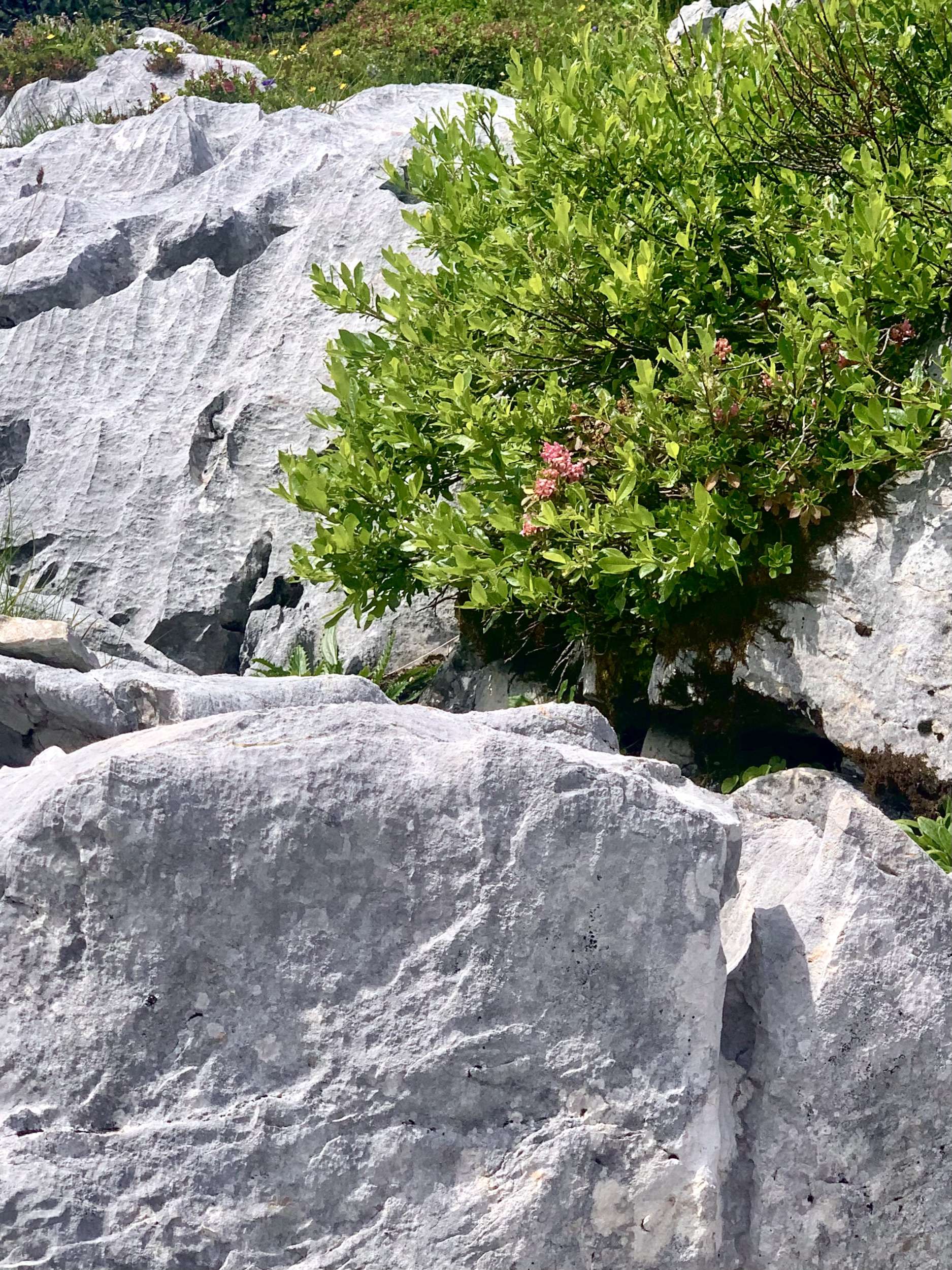 alpine rose