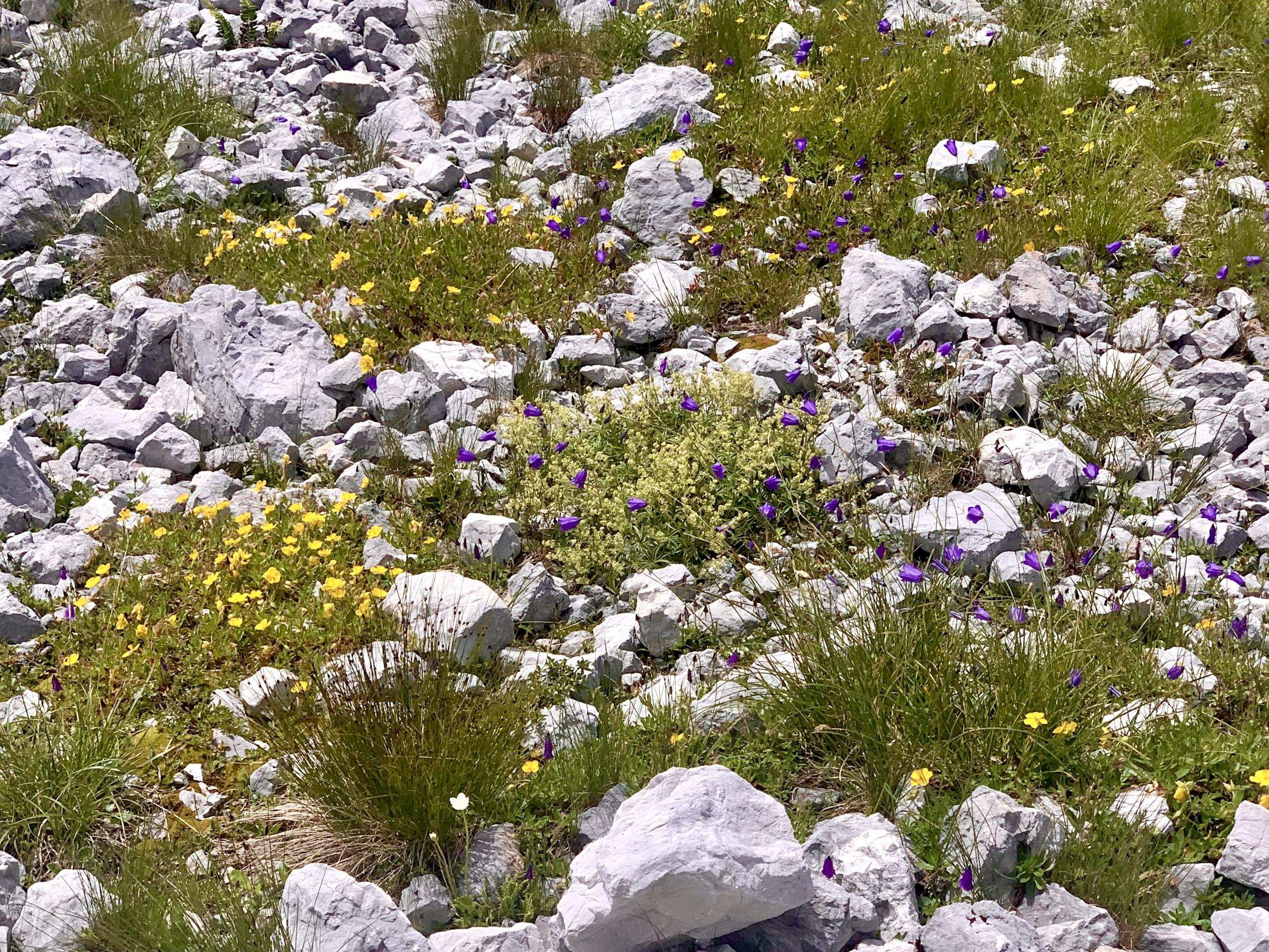 Blumen in der Karstlandschaft