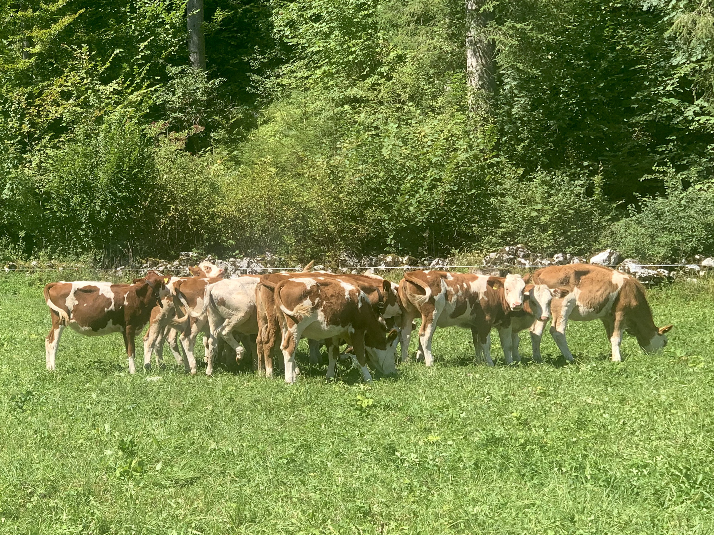 Young Cattle in the Echern Valley